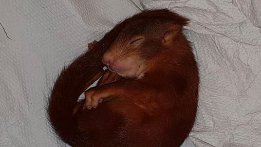 The squirrel fell asleep after the chase