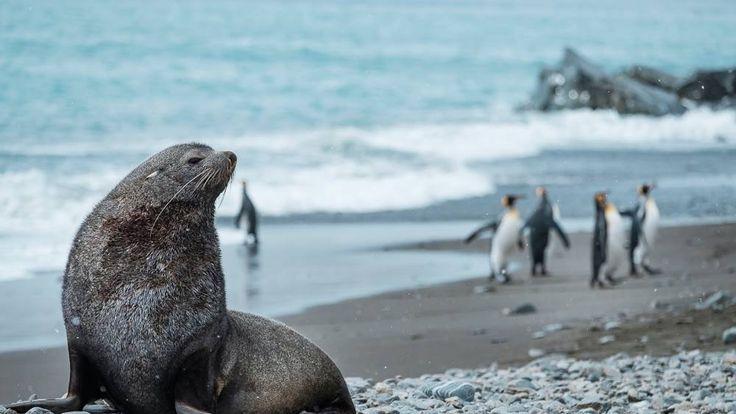 An antarctic fur seal