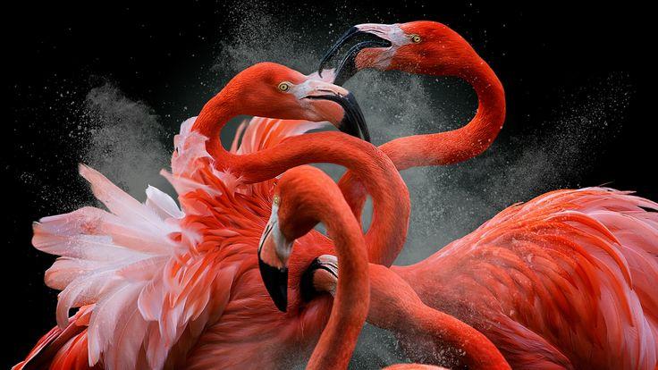 American Flamingoes in Madrid, taken by Pedro Jarque Krebs, from Peru