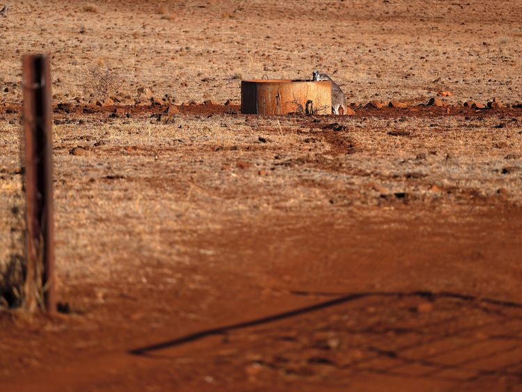 Kangaroo - seen here drinking from a water tank - are competing with livestock for limited pasture