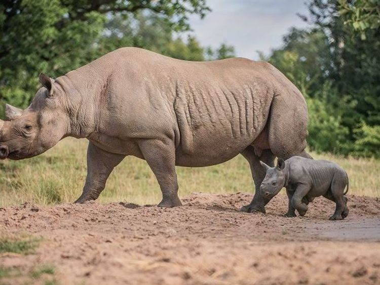 The zoo says mum Malindi has bonded well with her new calf. Pic: Chester Zoo