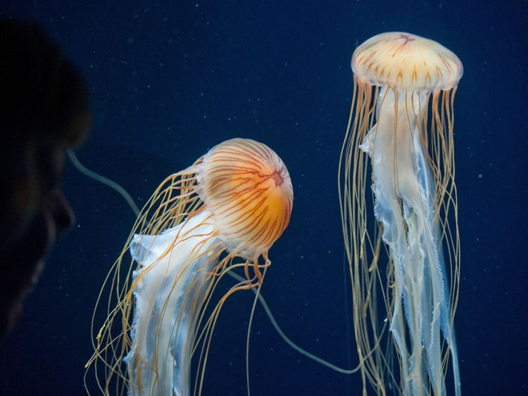 how to spot jellyfish in uk and what to do if you re stung