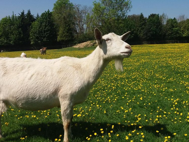 Goats at the Buttercups Sanctuary 3 - Credit Christian Nawroth
