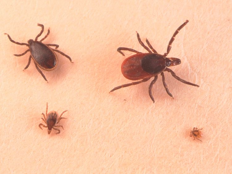Lyme disease is carried by ticks and is passed to humans when they bite