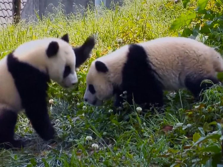 In the wild pandas find their mates by following calls and scents. Pic: CCTV