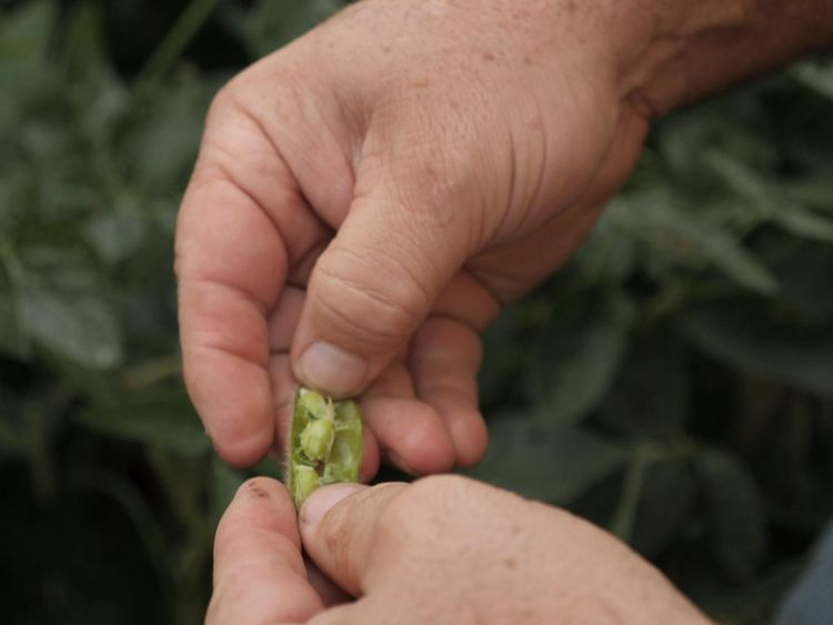 The soybean crop is being hit hard by the Chinese tariffs