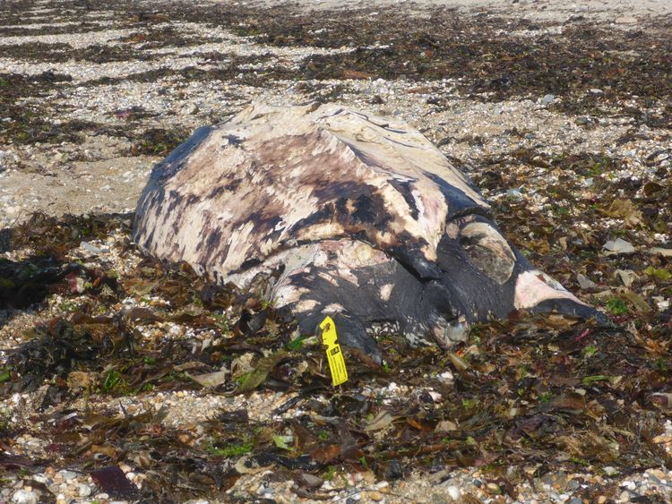 The turtle was found washed up on a beach on Sunday. Pic: Dominic Tilley
