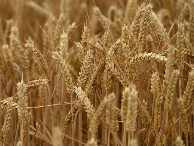 File photo dated of wheat in a field in Warwickshire