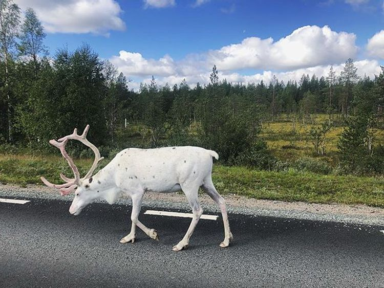 White reindeer photographed by a man writing 'stop Brexit' across Europe. Pic: @therogueconsultant