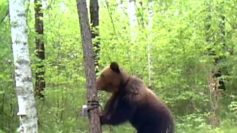 Brown bear takes exception to being filmed in China