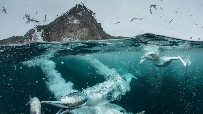 Northern Gannet taken at the Shetland Islands, Scotland, by Richard Shucksmith. Gold award winner for the Bird Behaviour category
