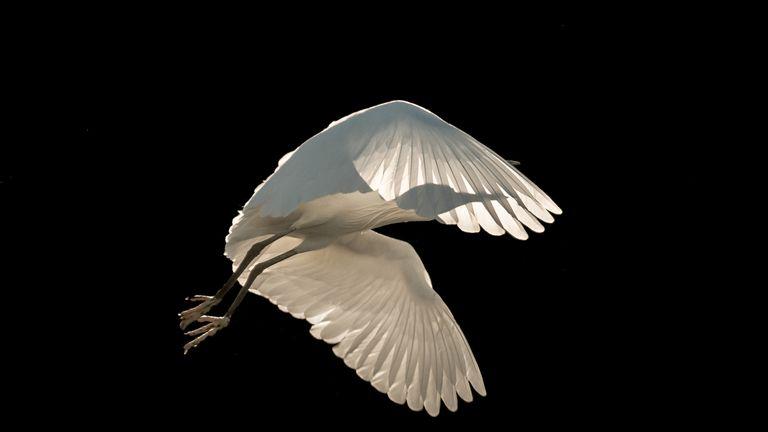 Little Egret taken on the Isle of Wight taken by Sienna Anderson. Gold winner of Birds in Flight