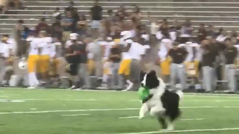 Border collie retrieves kicking tee during American football match