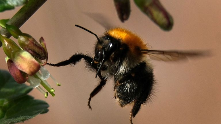 Bumblebee are crucial for the pollination of crops