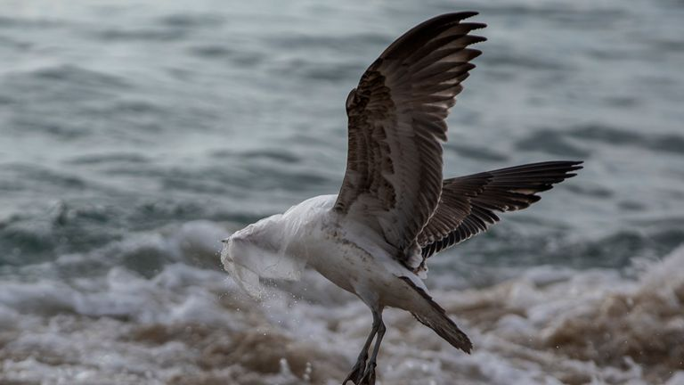 A seagull struggles to take flight covered by a plastic bag at Caleta Portales beach in Valparaiso, Chile