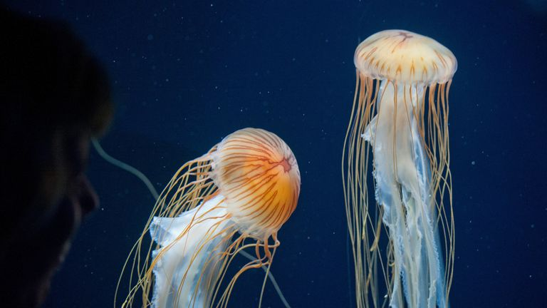 Compass jellyfish are not dangerous but their sting is painful