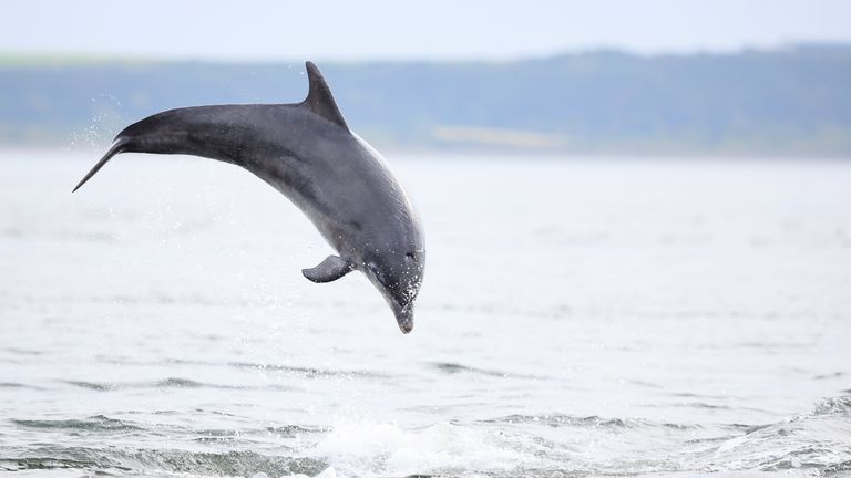 A bottlenose dolphin. File pic
