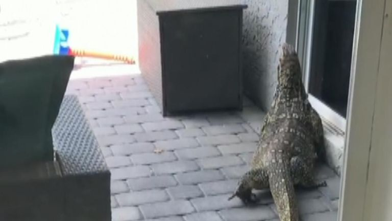 Monitor lizard appears in Florida yard