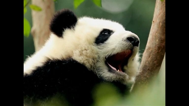 China's wild giant panda population explodes after major