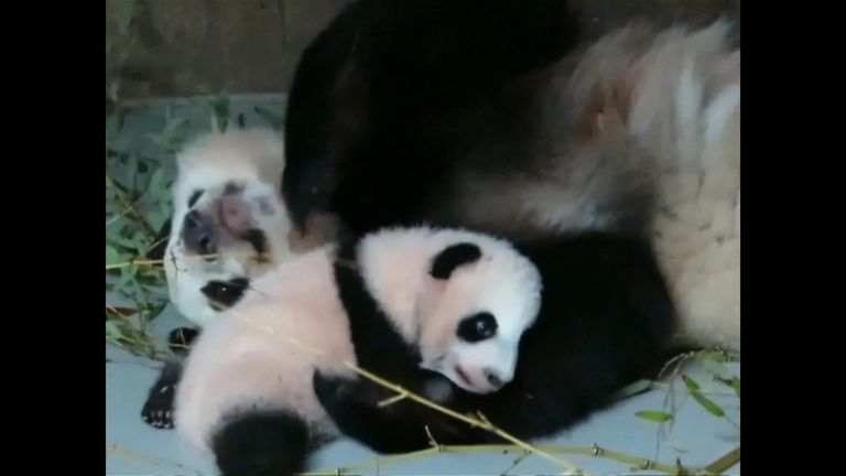 Pandas do not mate well in captivity. Pic: CCTV