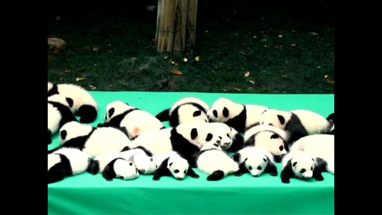Eight out of 10 panda cubs born at the Chengdu panda breeding centre were twins. Pic: CCTV