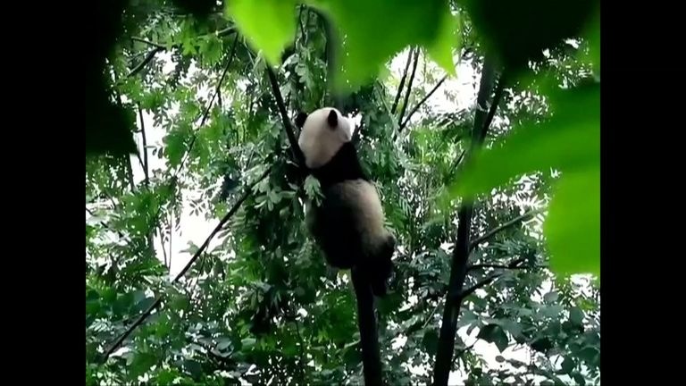 A total of 66.8% of China's wild giant pandas live in nature reserves. Pic: CCTV