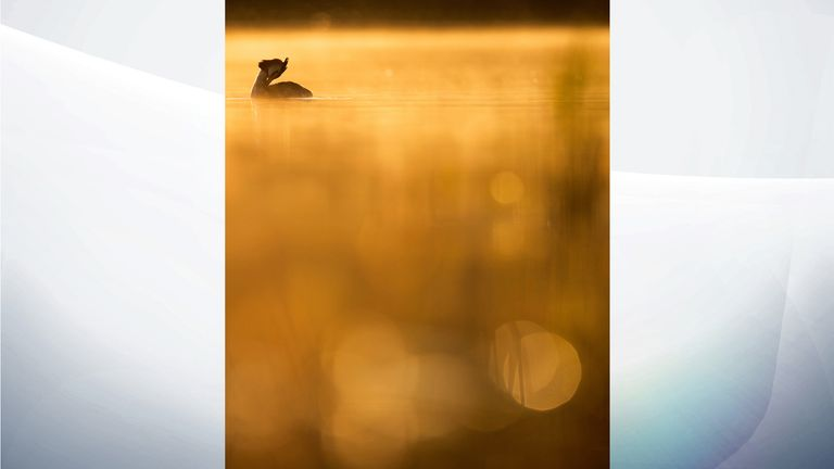 Great Crested Grebe taken in Stockholm, Sweden by Johan Carlberg, from Sweden. Gold winner of Young Bird Photographer of the Year