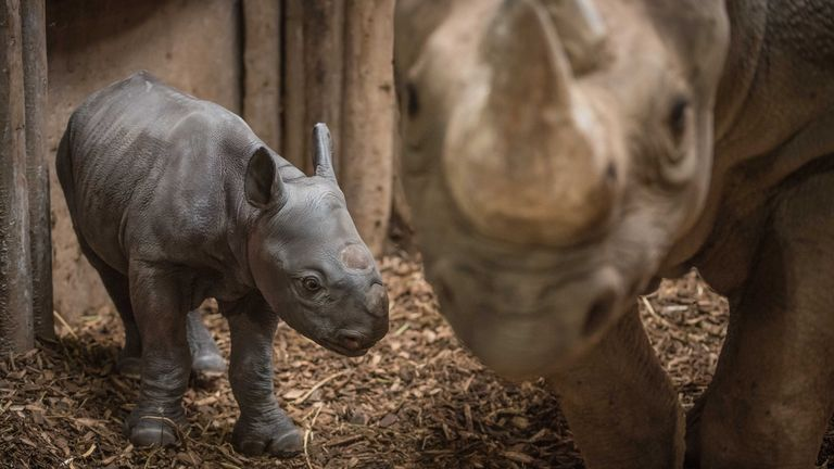 Zoo visitors watched as Malindi gave birth in the afternoon. Pic: Chester Zoo