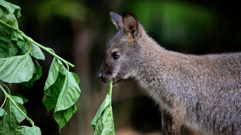 In some parts of the UK wallabies roam wild. Pic: file