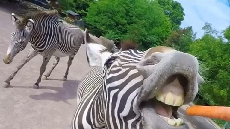 Cologne Zoo has offered a tiny insight into their daily rituals, by using camera's strapped to their keepers' heads