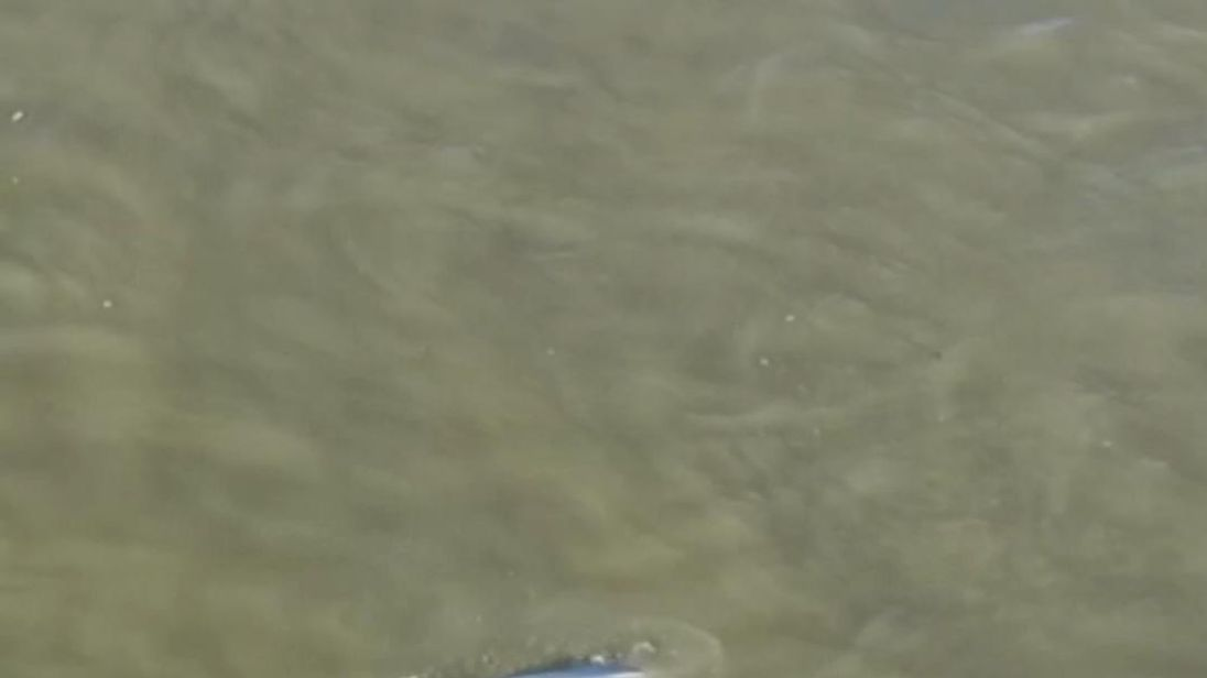 'Beluga whale' spotted in River Thames near London