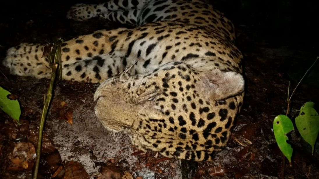 Attractive Hunted Jaguars Die U0027agonisingu0027 Deaths To Be Boiled Into Paste For Chinese  Medicine, Says Charity