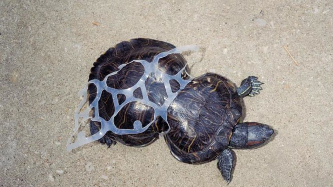 A turtle with a plastic can holder around it. Pic: Missouri Department of Conservation