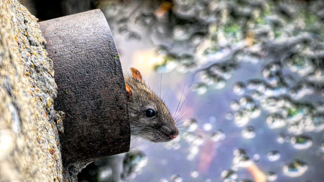 World's first human case of rat disease discovered in Hong Kong