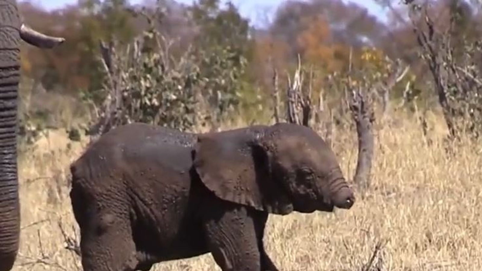 fears for baby elephant spotted without its trunk