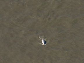 Beluga whale in the Thames