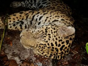 The jaguar is listed as 'near threatened' by the International Union for Conservation of Nature. Pic: World Animal Protection