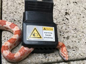 An orange and white corn snake that was rescued after slithering into a mousetrap