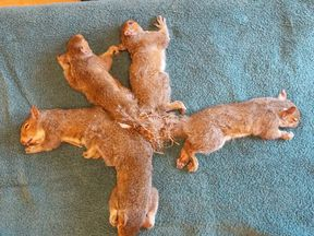 The squirrels were tangled together in what rescuers called a 'Gordian Knot'. Pic: Wisconsin Humane Society