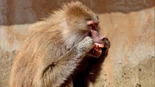 baboons flossing with their own hair