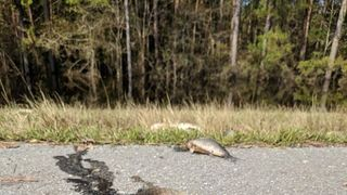 Fish are cleared from a road in North Carolina after Hurricane Florence