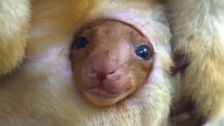 Tree kangaroo peeps out of mums pouch for the first time