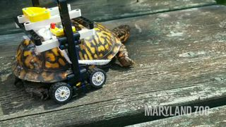 Injured turtle recovers in bespoke Lego wheelchair