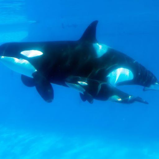 Ocean toxins could kill half of world's killer whales