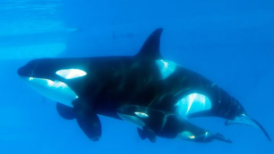Newborn killer whales were rarely seen in contaminated waters around the UK, Brazil and the Strait of Gibraltar