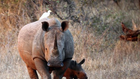 A newly born white rhinoceros walks with it's mother in Kruger National Park
