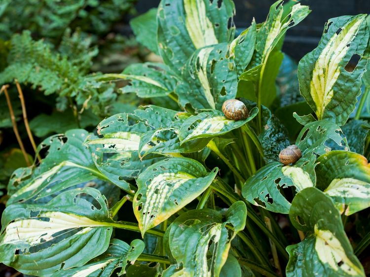 Slugs and snails are known to cause unsightly damage to crops