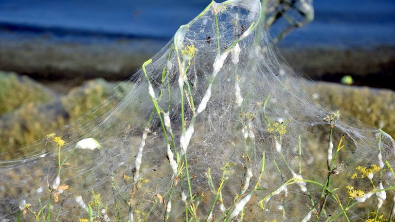 "A molecular biologist has said the spiders will ""have their party and will soon die"". Pic: Giannis Giannakopoulos"