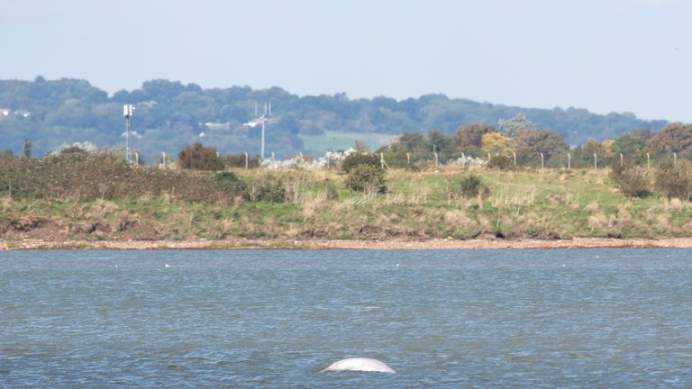 Beluga whale in the Thams. Pic: Rob Powell/LNP