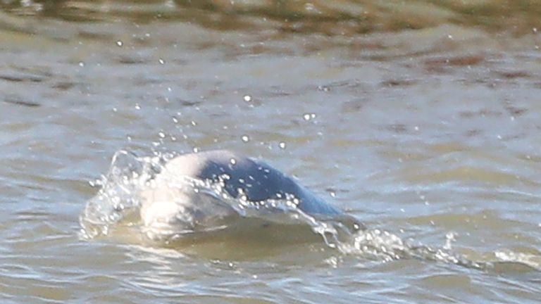 A beluga whale breaches in the river Thames close to Gravesend